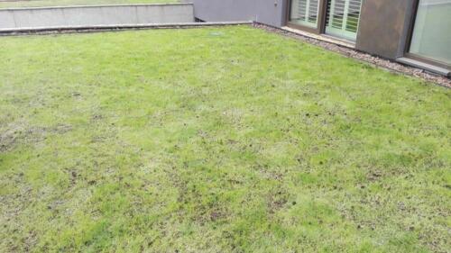 renowacja trawnika15